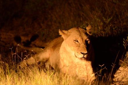 愛貓的我見到獅子這類貓科動物特別有親切感。