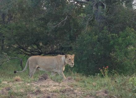 無論日與夜間的Game Drive都只是見到雌性獅子,其實我很想親眼見到Lion King呀!